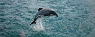 /Files/images/delfn_mau/maui_dolphin_nz_will_rayment_352389.jpg